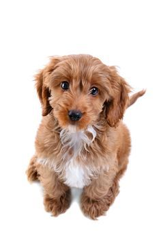 Detailed info on the cockapoo mind, temperament, and personality.