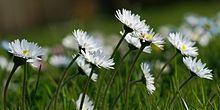 Bellis perennis.  Order:Asterales Family:Asteraceae Genus:Bellis Species:B. perennis
