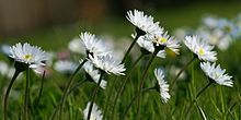 Bellis perennis - i still think this would be great someplace...