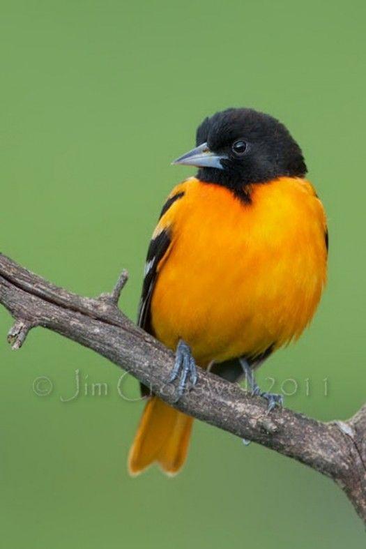 beautiful baltimore orioles birds (5)