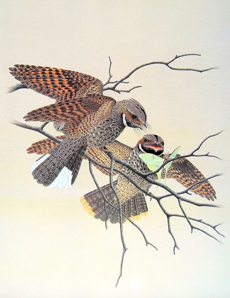 25 Best Ideas About Vintage Bird Illustration On