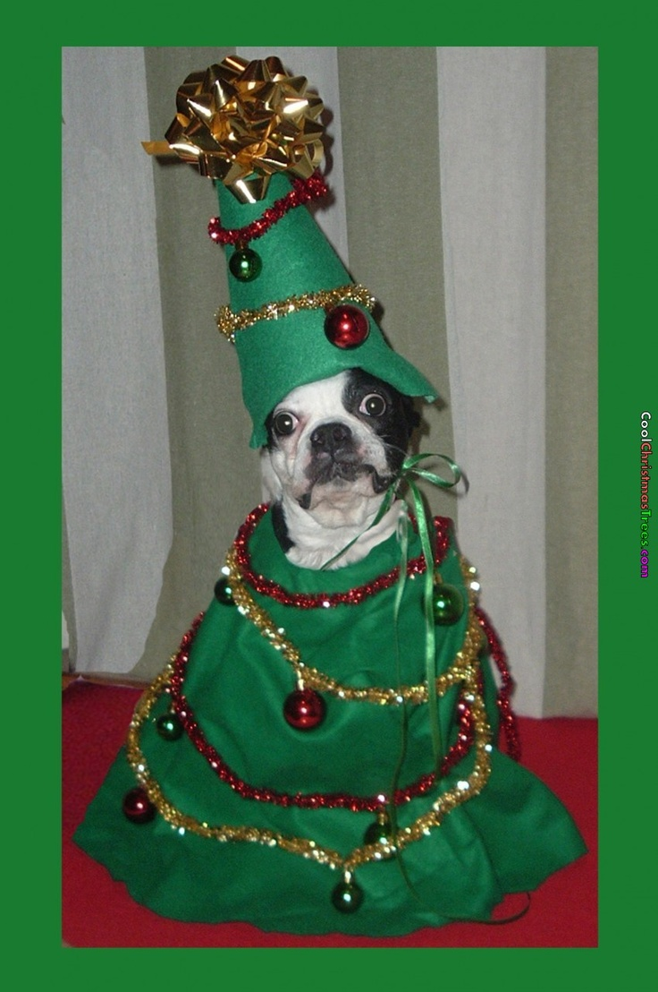 191 Best Images About Boston Terrier Holiday Pics On