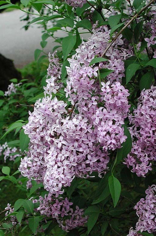 Parksyren- Prydnadsväxt Mot gatan kunde det finnas en mindre yta för prydnad. Prydnadsväxterna samlades närmast bostaden och kring huvudentrén, ofta i en rabatt utmed husväggen, vänd mot gatan där förbipasserande kunde se den, i en rabatt som kantade uppfarten eller i en liten gräsplätt mot gatan. På framsidan och utmed en gavel på huset kunde det finnas plats för några blommande buskar som syren, ros, schersmin, spirea eller hagtorn. Rönn var också en stor favorit.