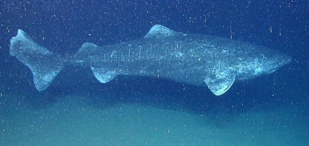 Greenland sharks live for at least 272 years - Unexplained Mysteries