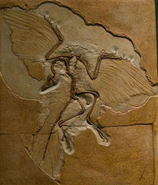 Evolutionary biology is an extensive interest of mine. This fossil of Archaeopteryx proves the developmental transition of feathered dinosaurs to modern birds.