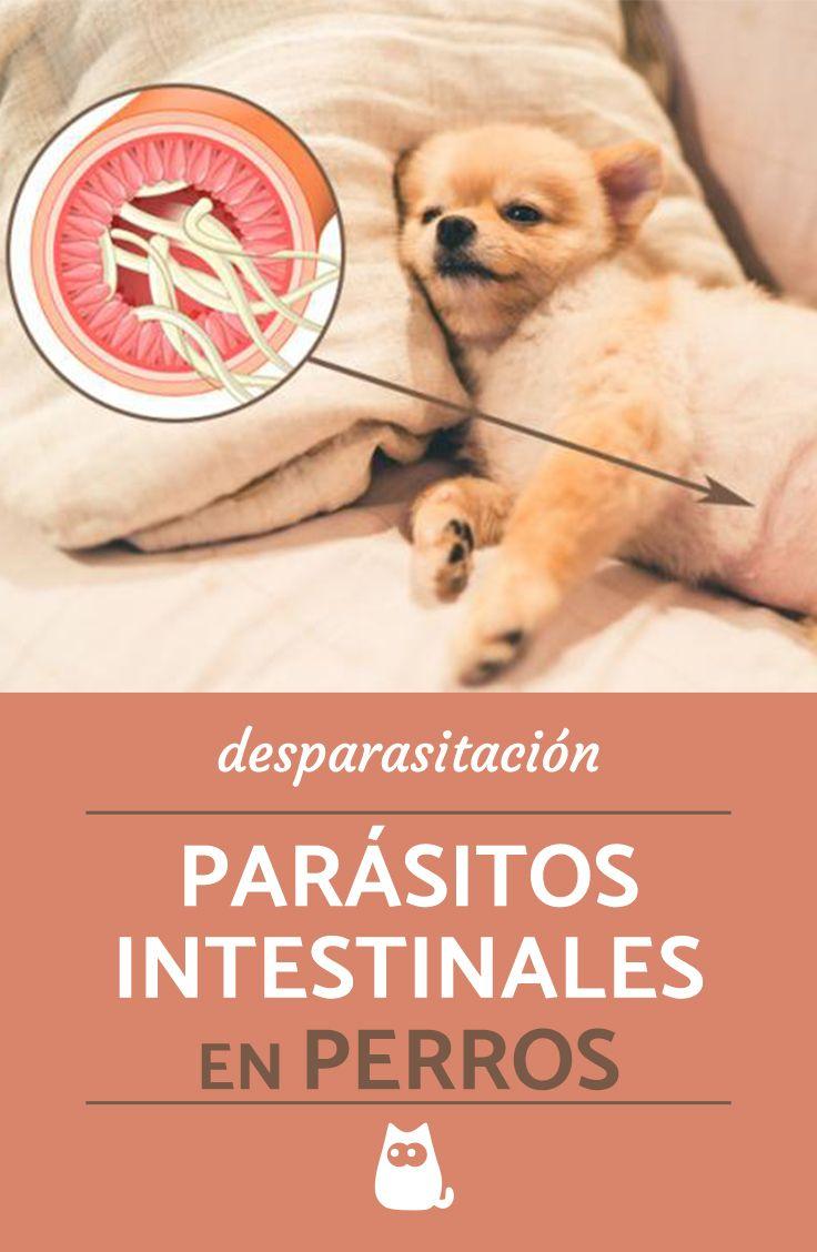 perro síntomas parásitos comiendo caca