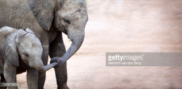 106676854-mother-with-baby-elephant-kruger-national-gettyimages.jpg (591×290)