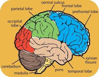 brain diagram   stem   the library   pinterest