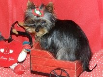 LadyBug is an adoptable Yorkshire Terrier Yorkie Dog in Mansfield, MO. LadyBug is a 10 mo old AKC yorshire terrier. She is only 4.5 lbs. She is sweet and loving. Owner had to give her up due to health...