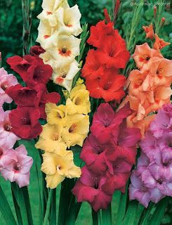 august birth flower pictures - Google Search