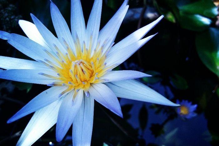 Gambar Bunga Teratai Berwarna Bunga Teratai Ini Biasanya Dapat Terlihat Di Area Perairan Yang Tenang Indah Baik Hijau Dau Bunga Teratai Bunga Kembang Sepatu