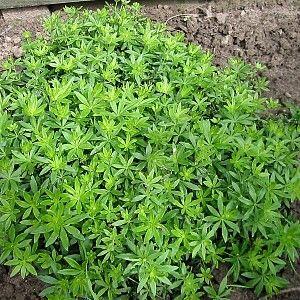 Galium odoratum: Lievevrouwbedstro  Lievevrouwbedstro wordt gebruikt bij de bereiding van 'Meiwijn', sorbets, roomijs, ze geeft smaak aan dranken en likeuren, en een aftreksel van de blaadjes geeft een bijzondere smaak aan gebak. Ook medicinaal.