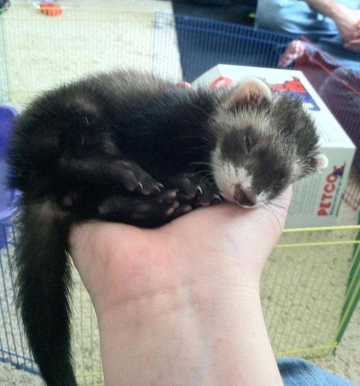 9 week old female Ferret Kit.