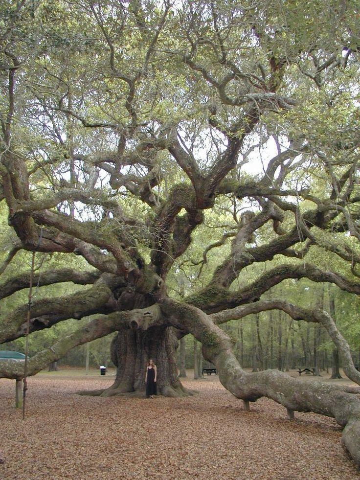 les 25 meilleures id es de la cat gorie vieux arbres sur pinterest arbres de ch ne d 39 ange. Black Bedroom Furniture Sets. Home Design Ideas