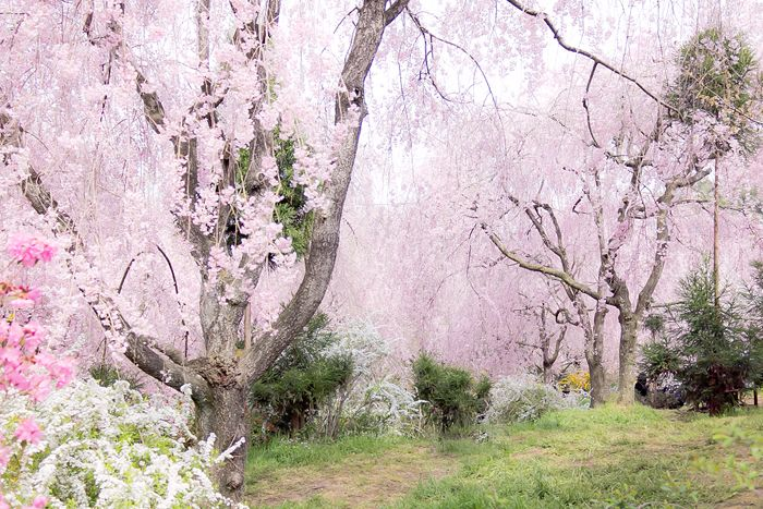 haratanien kyoto japan 原谷苑の桜