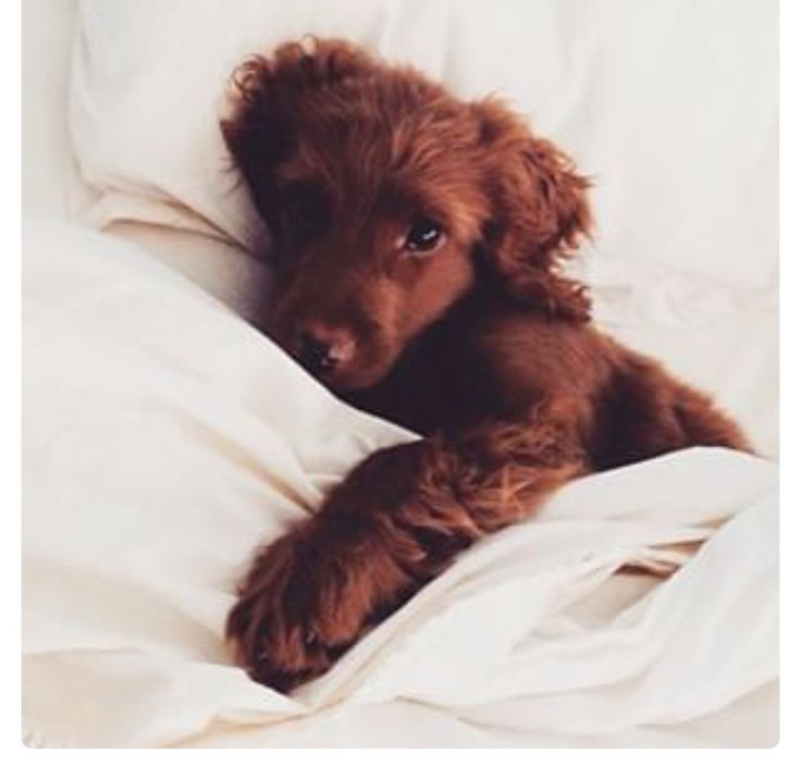 How can you resist that face?? Just stay in bed www.solutionsolution.com.au #stayinbed #solutionsolution #garmentcare #laundry #australianmade #fashion #art #science #puppy #sheets #linenwash #linen #cotton #silk #fabricsoftener #washing #luxury #model #australia #frenchbulldog #coffee #breakfast #bed
