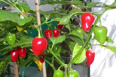 I peperoncini Habanero sono alcuni dei peperoncini più piccanti al mondo. Crescono ad una lunghezza che può variare dai due centimetri e mezzo ai sette centimetri, e sono di colore rosso o arancione. Questi peperoncini crescono comunemente in zone come il Messico e il Belize, ma potete coltivarli anche a casa, all'interno, all'esterno o in una serra, tenendo presente che crescono meglio in luoghi caldi e soleggiati. Se volete farli crescere a partire dai semi, sappiate che potete iniziare da…