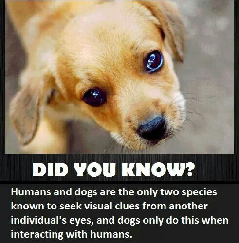 This is true & what's even more interesting is that wild dogs don't. So our dogs learned in time how to understand us better with watching our eyes.