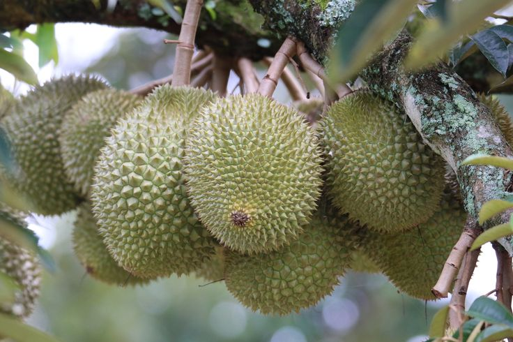 Durian in a bunch