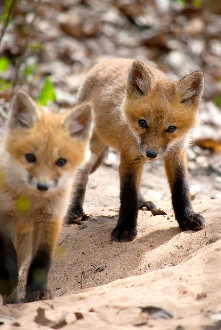Baby foxes (via 500px / Baby Foxes by Quade Byrnes)