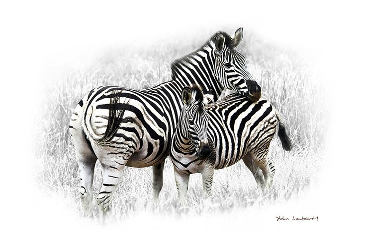 Zebra Mother & Young | Canvas Print | Order online at ngunigalore.com - Delivery is FREE to anywhere in SA! | Size 830mm x 550mm.  All canvas prints are available un-mounted, delivered in tubes.