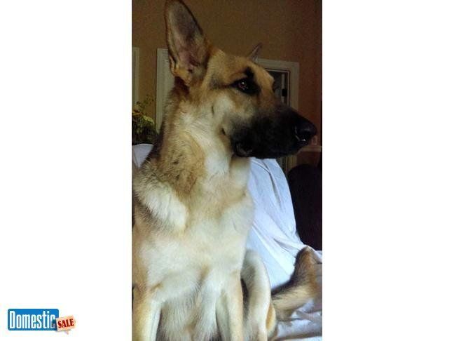 AKC German Shepherd puppies fullbred I have 6 females and 3 males full bred German Shepherds puppies.. Sir is 130LBS Red with Black and Dam is 75 Tan with Black. Excellent ...