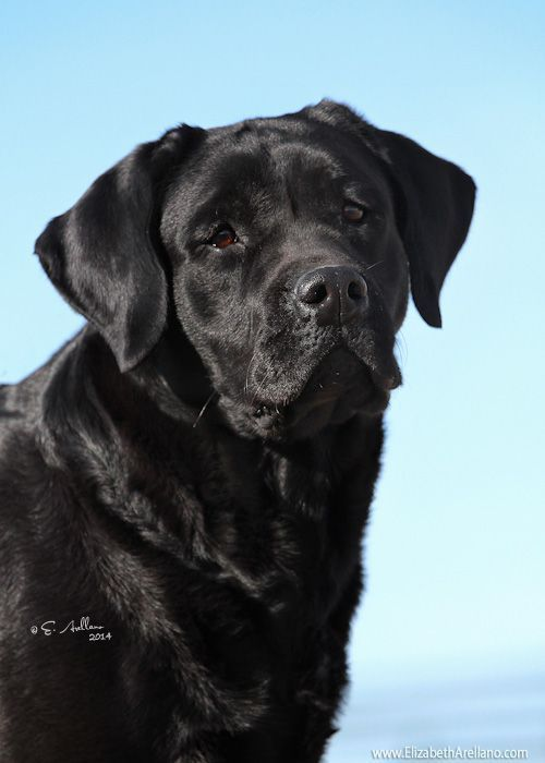 English Labrador Retriever...beautiful. #LabradorRetriever