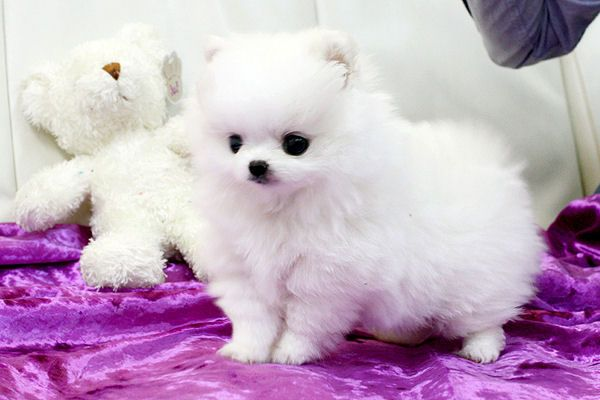 Teacup dog all white ooo please can I have one :) lol