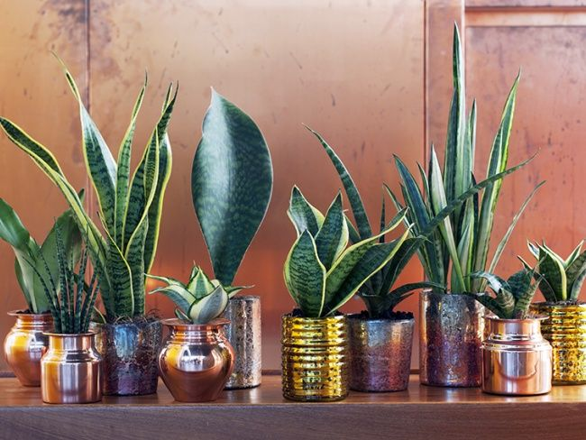 18 best sansevieria images on pinterest plants cactus and house plants - Plante langue de belle mere ...