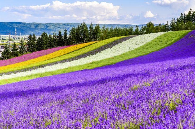 北海道の富良野と言えば、あの『北の国から』のロケ地としても有名で、冬にはスキー客が多く訪れ、大自然を満喫できるところとして知られています。そんな富良野にある「ファーム富田」は、日本最大級のラベンダー畑を擁する施設で、2003年には天皇皇后両陛下も訪れた、まるで絵本の世界に入り込んだように花々に囲まれることのできる素敵な場所です。また、ラベンダーの時期以外もチューリップやビオラ、インパチェンスやベゴニア、マリーゴールドなどのさまざまな花が咲き、見頃の時期がたくさんあります。 ファームで栽培されたラベンダーから採れたオイルを原料に使用した、香水や石けんなどの化粧品類も製造販売していたり、富良野を彩る花々を、見て、香って、食べたりもできる「ファーム富田」、いったいどんなところなのでしょうか?