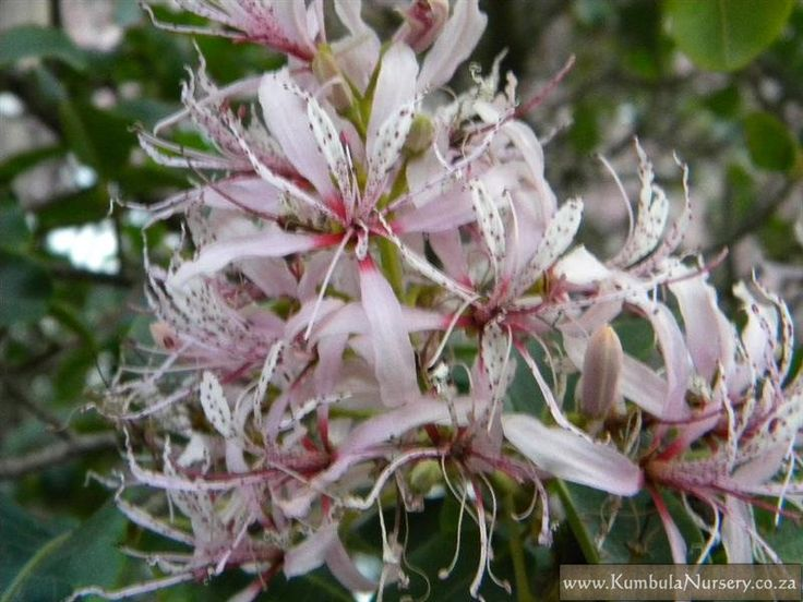 Calodendrum capense