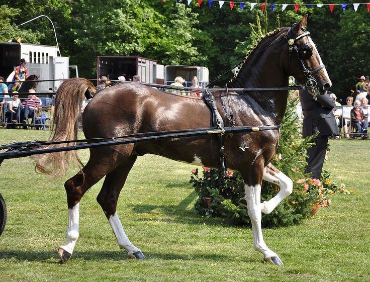 gorgeous Hackney horse!