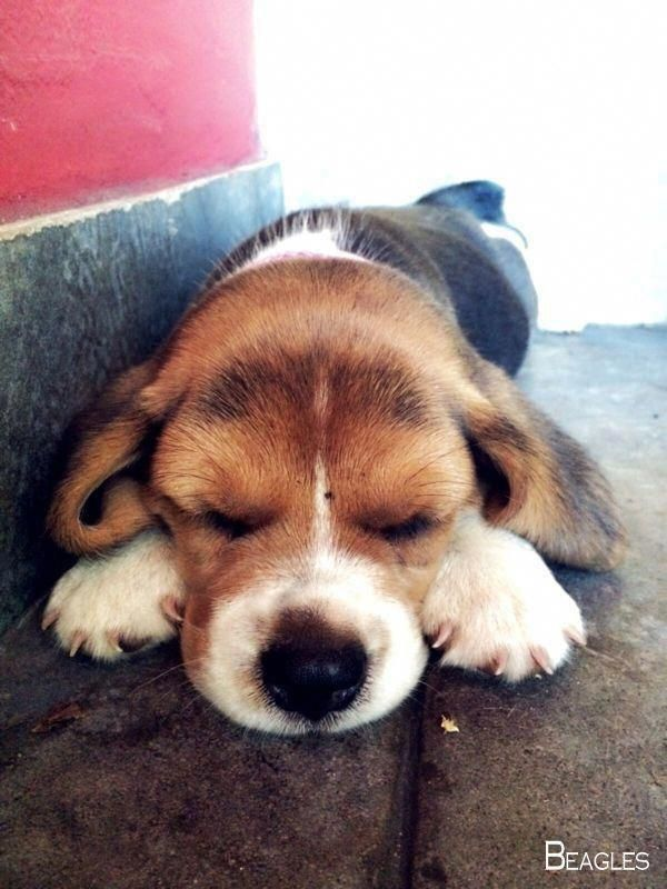Pin By Starry Eyed On Beagles Boop Boop Beagle Puppy Baby