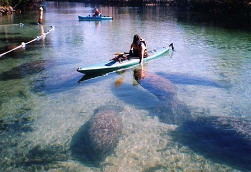Kayaking Trips at Crystal River Florida.  Up close and personal with the manatees.