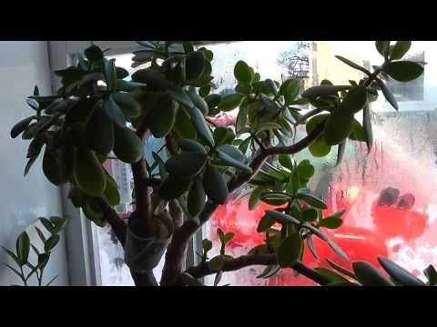 Уход за денежным деревом в зимний период Часть 3. - YouTube