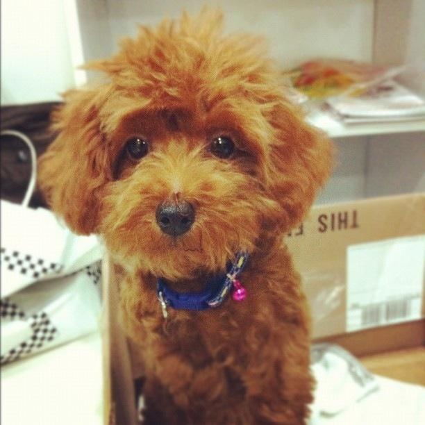 japanese poodle poodle love pinterest poodles. Black Bedroom Furniture Sets. Home Design Ideas