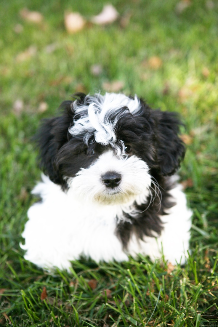 Shichon puppies for sale in indiana - My Puppy Look A Like