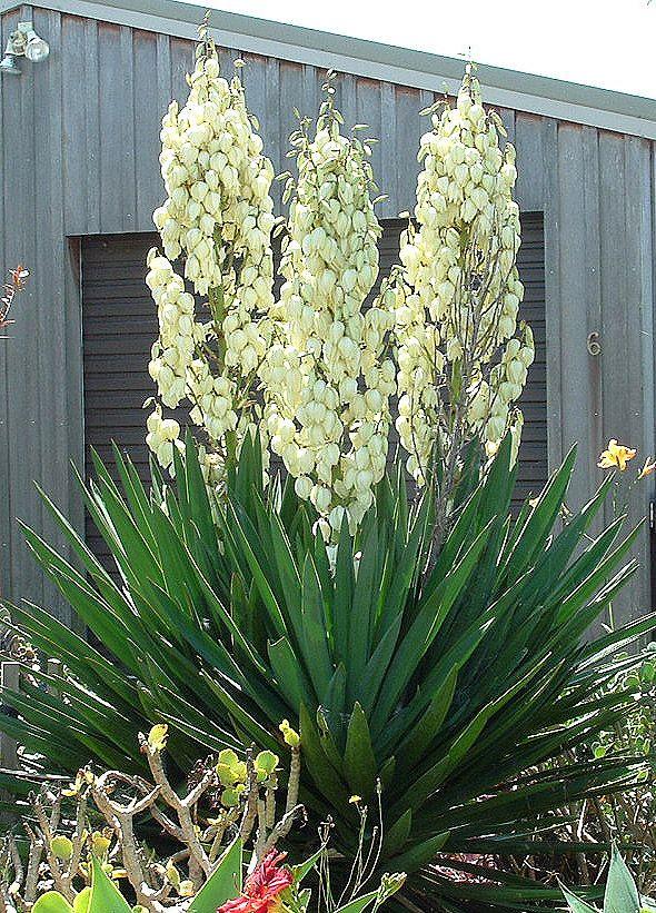 Это растение родом из северной Америки отлично приживается и зимует в средней полосе России. При этом выглядит оно достаточно необычно для нас, по южному. А цветет, хоть и совсем не долго (1,5-2 недели), зато как!..Юкка нитчатая — это многолетнее в...
