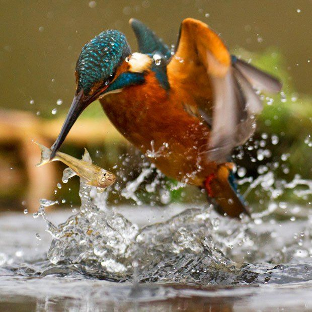 Best Kingfisher Similar Images On Pinterest Kingfisher - Man finally captures the perfect kingfisher photo after 6 years and 720000 attempts