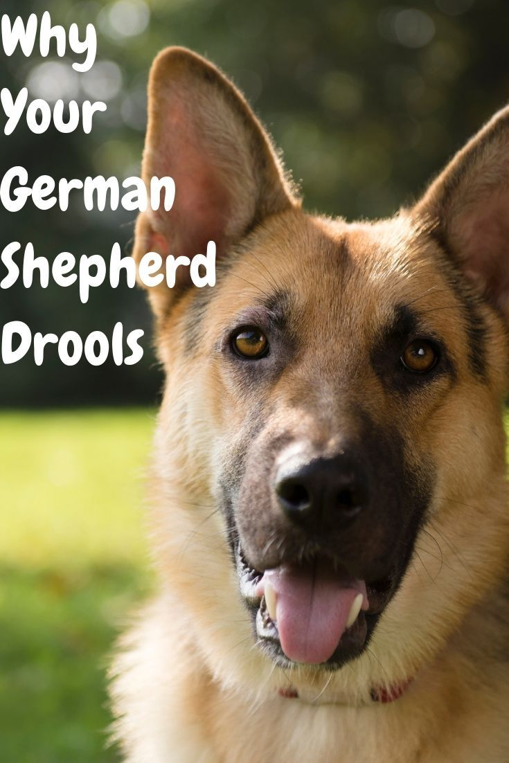 Why your German Shepherd drools