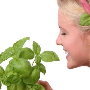 IL BASILICO NON SERVE SOLO IN CUCINA!  Ha moltissime altre proprietà per aiutare il nostro corpo e mente  http://www.medicinamoderna.tv/il-basilico-non-serve-solo-cucina