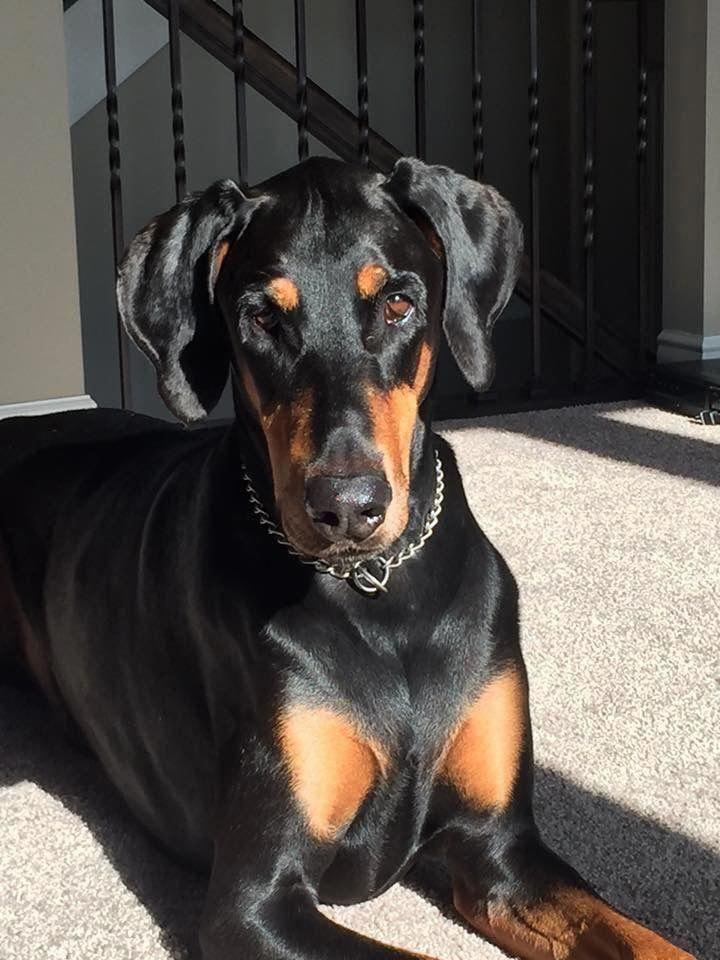 Discover The Fearless Doberman Pinscher Puppy Temperament