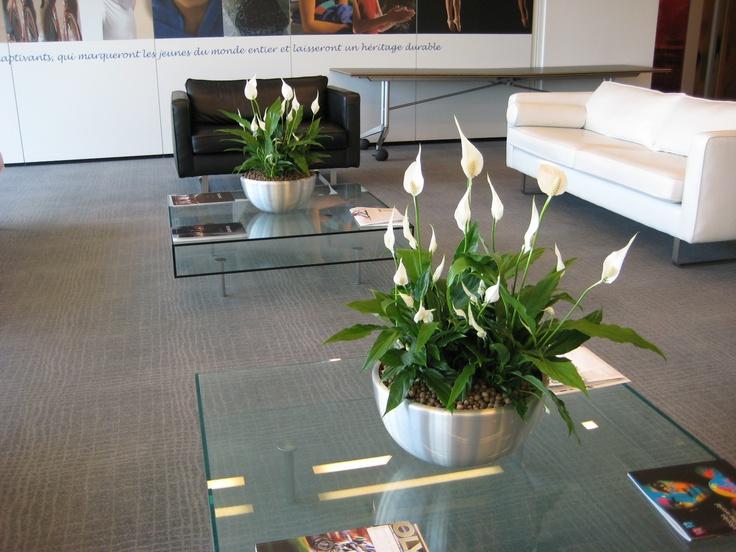 Elegant Peace Lilies (Spathiphyllum)