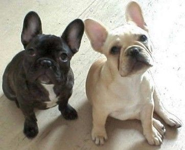 i think French bulldogs are adorable. the boyfriend...he is not in agreement.