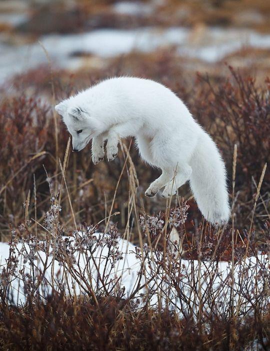 El zorro polar posee unas orejas pequeñas y una capa densa de pelo que le permite subsistir y cazar a temperaturas extremas (de hasta -50 °C).En el verano, esta capa blanca de pelaje largo cambia por una capa pardo-grisácea de pelaje más corto.En Groenlandia se han documentado ejemplares de pelaje azulado, característica apreciada por los peleteros y potenciada por los criadores.