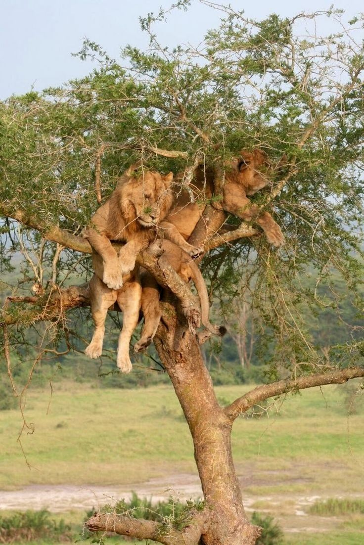 Why climbing a tree isn't a good idea (if you're being chased by a lion)..
