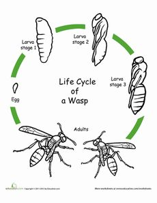Color the Life Cycle: Wasp Worksheet