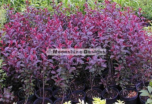 Purple Leaf Sand Cherry Shrub (w/ small edible fruit for birds)
