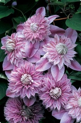 Clematis Josephine...I am trying to find this plant.  I live north of Houston...I hope it will grow here.