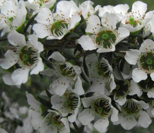 N – LEPTOSPERMUM CONTINENTALE- Prickly Tea Tree